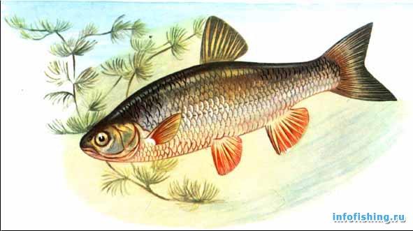 Голавль leuciscus cephalus l infofishing