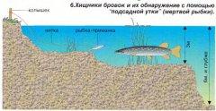 Обнаружение щуки при помощи мертвой рыбки