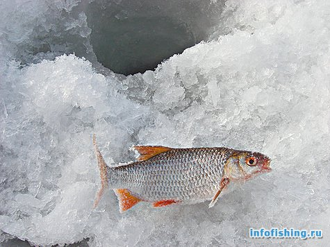 какая рыба клюет на картошку