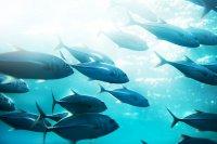 Под угрозой исчезновения находятся более 40 видов средиземноморских рыб