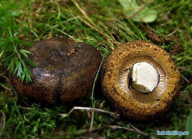 черные грузди грибы фото