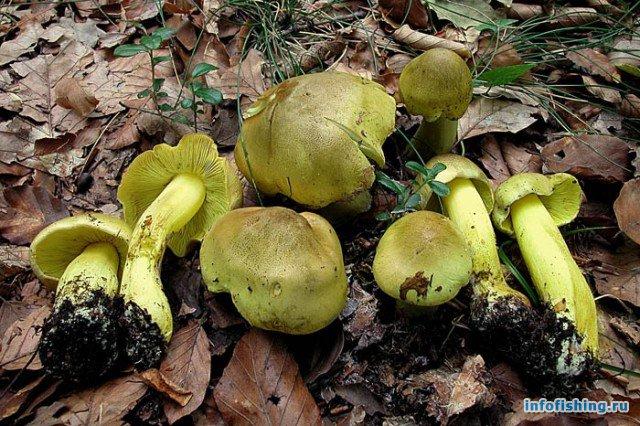 грибы 4 категории фото
